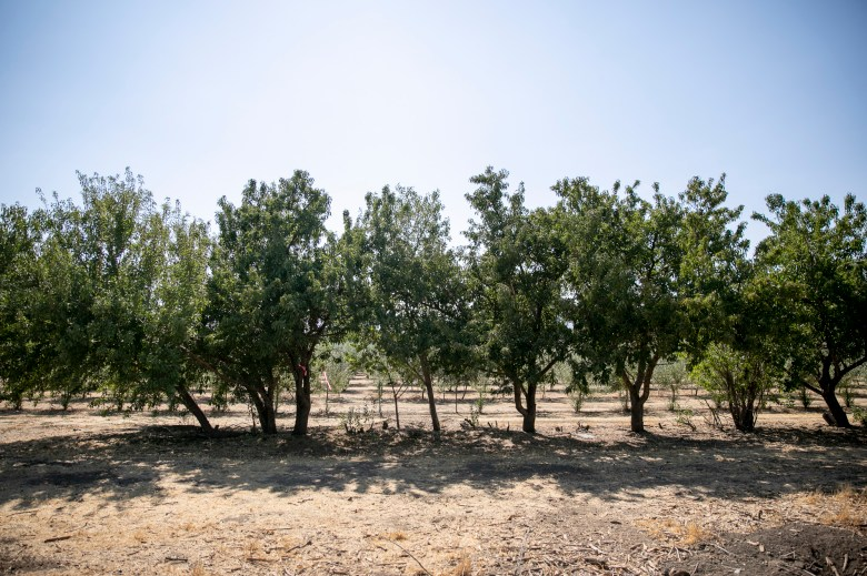 A research plot of almond trees that have been grown without any supplemental water at Wolfskill Experimental Orchards on Aug. 25, 2021. Photo by Anne Wernikoff, CalMatters