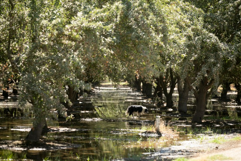 One of Gemperle's border collies trudges through puddles on her neighbor's almond grove who continues to rely on flood irrigation to water his trees. Photo by Anne Wernikoff, CalMatters