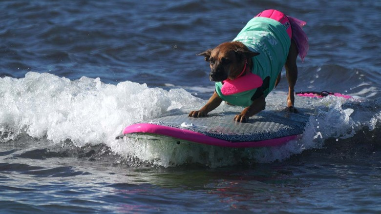 Giselle, a Rhodesian Ridgeback mix rides in the 16th annual Surf Dog Surf-a-thon. Photo by Chris Stone
