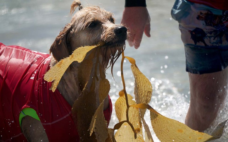 Teddy, a Labradoodle, returns to the beach with a gift from the sea. Photo by Chris Stone
