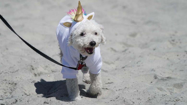 A rescue dog models a unicorn Halloween costume at the Surf Dog Surf-a-thon in Del Mar. Photo by Chris Stone