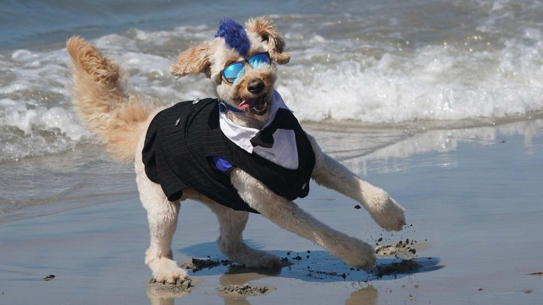 Derby the Goldendoodle plays on the beach in his tuxedo at the Surd Dog Sur-a-thon 2021 at Del Mar Dog Beach. Photo by Chris Stone